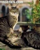 Gatos pardos