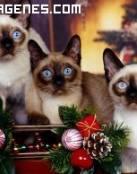 Siameses navideños
