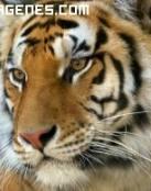 Imagen de gran tigre