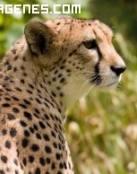 Imagen de un guepardo al acecho