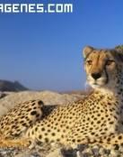 Imagen de guepardo