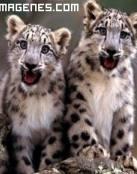 Pequeños leopardos