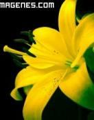 Hermosa flor de Lys