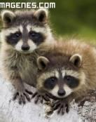 Simpáticos mapaches