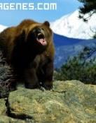 Imagen de un oso pardo