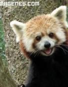 Simpático panda rojo