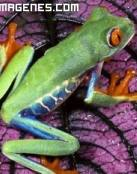 Colorida rana
