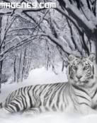 Imagen gran tigre albino