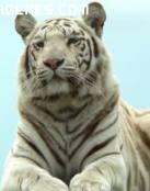 Imagen de gran tigre blanco