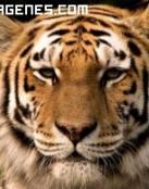 Imagen de un tigre serio