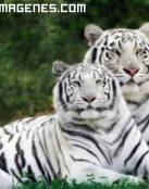 Imagen de tigres albinos